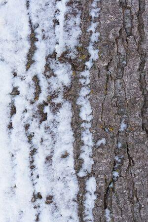 arbol alamo: La nieve se aferra en la corteza de un árbol de álamo después de una tormenta de nieve.