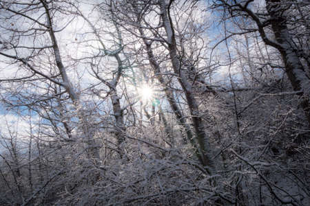Sun shining through a tangle of frosty snow covered aspen trees