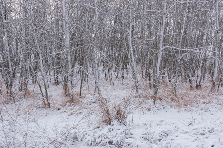 Snow covered grove of aspen trees after an early winter snowfall Foto de archivo