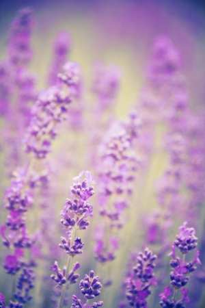 lavender background with a spared flowers at the foreground and a blurred background Stock Photo