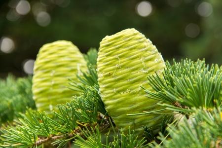 two green pine cones (Cedrus deodara tree) photo