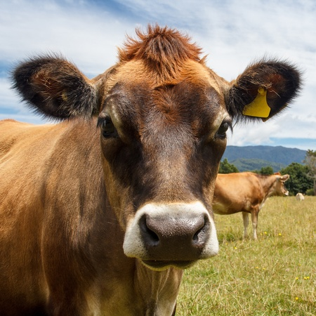 a brown cow looking straight at you Stock Photo - 17628178