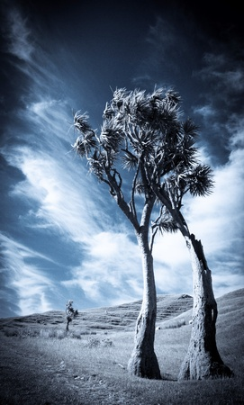 black and white toned photo of a dramatic New Zealand landscape with two cabbage trees and clouds photo