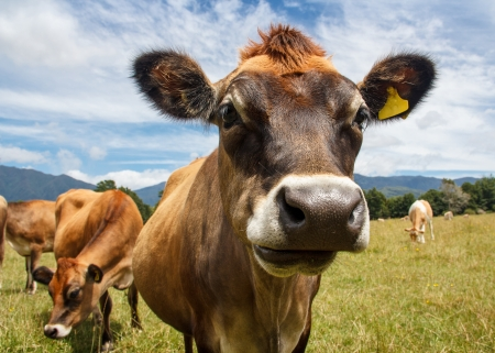 a chewing cow looking surprisingly straight into the camera Stock Photo - 17628202