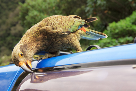 damaging: kea, a new zealand native green parrot, damaging the blue car, location - Wellington, South Island, New Zealand