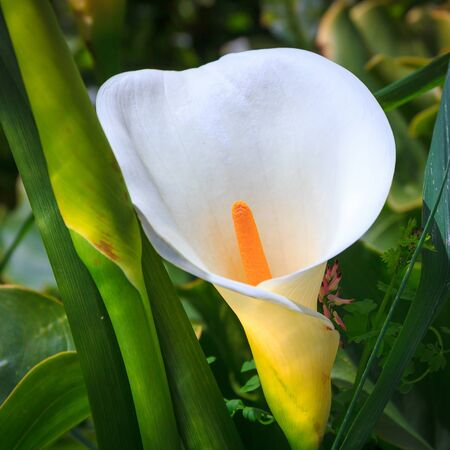calas blancas: calas blancas en el jard�n, Nueva Zelanda Foto de archivo