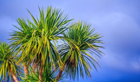 Ti kouka – New Zealand cabbage palm tree, landscape with a blue sky