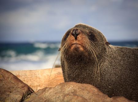 fur seal at the coast - New Zealand, North Island, Wellington