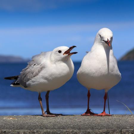 wild seagulls on a beach, location - Wellington, North Island, New Zealand