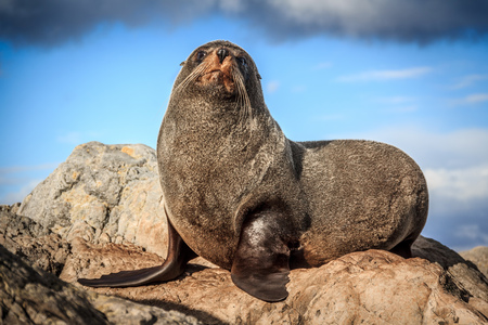fur: fur seal at the coast - New Zealand, North Island, Wellington