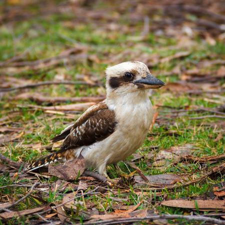 Australian Kookaburra in the forest, location - Grampians Australian national park, location - Australia Stock Photo