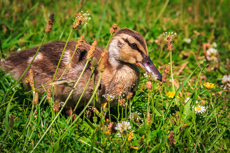 small duckling at the green grass photo
