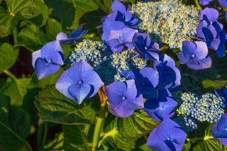 blooming blue hydrangea flowers at the garden macro image