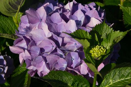 blooming purple hydrangea flowers at the garden macro image