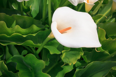 callas with leafs at the garden, New Zealand Stock Photo