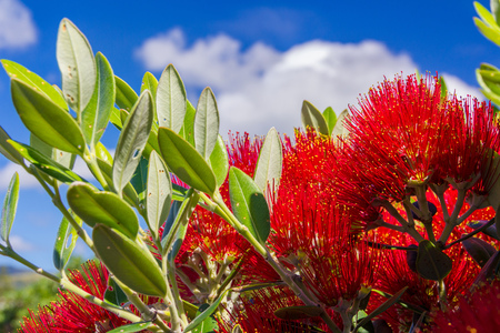 pohutukawa - New Zealand Christmas tree with red flowers photo Stock Photo