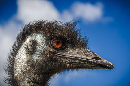 ostrich head with the red eyes photo