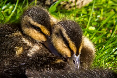 small two colored ducklings at the grass Stock Photo