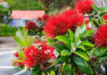 red pohutukawa flowers, location - Wellington, North Island, New Zealand Stock Photo