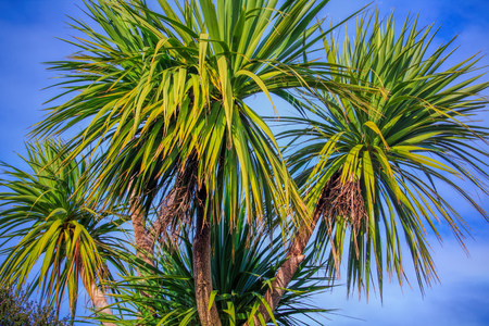 Ti kouka New Zealand cabbage palm tree, landscape with a blue sky