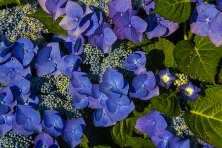 beautiful blue color hydrangea flowers macro photo