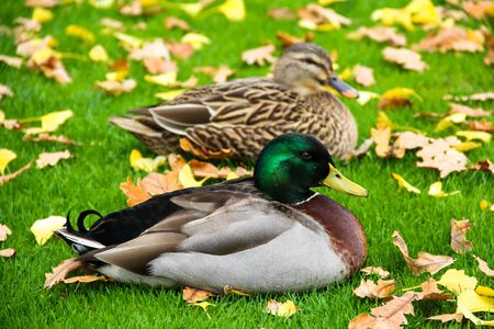 two ducks at the green autumn grass photo