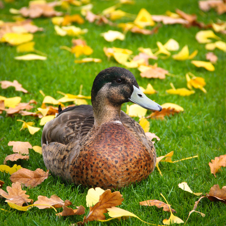 duck at the green autumn grass square photo