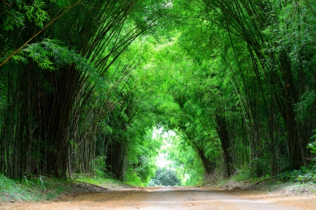 botanical branch: The high bamboo both side of the road bend to cover the clay road