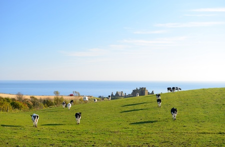 Cows are walking to graze on a green meadow as ocean and  blue sky background photo