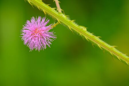 Macro flower close up of Mimosa pudica photo