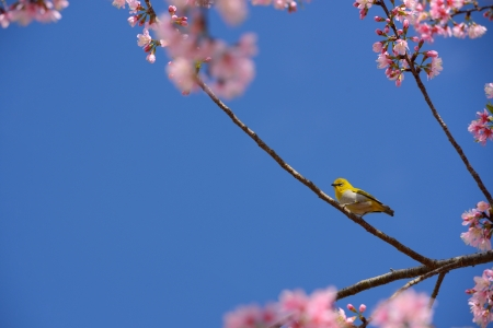 Zosterops palpebrosus or oriental white eye bird hang on the Wild Himalayan Cherry tree in Chiang Mai, Thailand photo