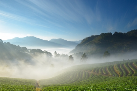 beautiful strawberry farm and mountaineer among mountain and fog in the morning at Doi Angkhang ,Chiangmai Thailand