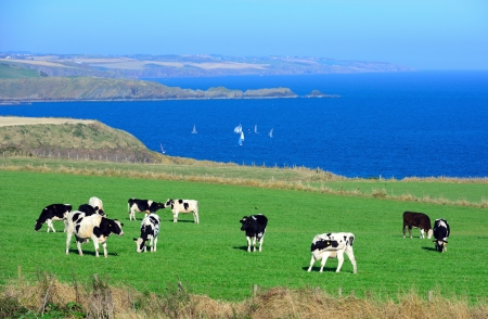 Cows are standing to graze on a green meadow as ocean and  blue sky background