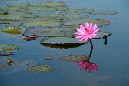 reflect: beautiful blossom lotus flower in Thailand pond reflect on water