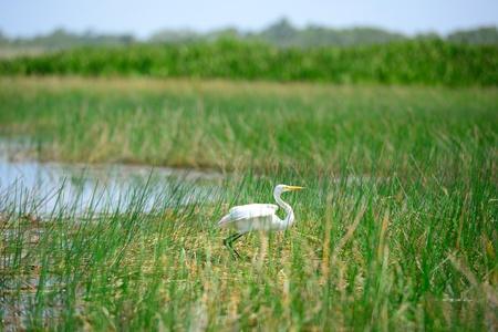 Intermediate Egret bird is at wetland in thailand