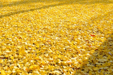 Leaves of the ginkgo tree in fall on the ground at japan