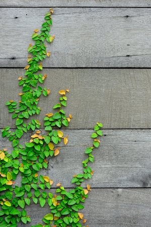 vertical garden: The Green Creeper Plant is nice pattern on the wooden wall for background  Stock Photo