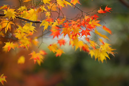 autumn red and yellow maple leaves with blur backdrop Stock Photo