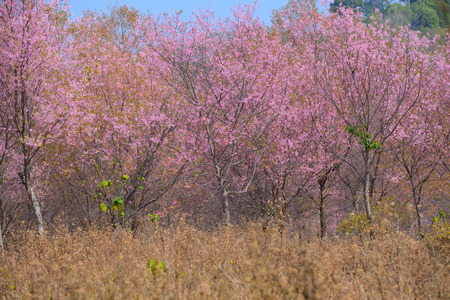 The beautiful scenery in cherry blossom forest,thailand Standard-Bild