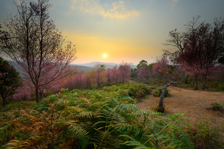 The beautiful scenery of sunset at pink sakura blossoms forest in Phu Lom Lo, Loei, Thailand