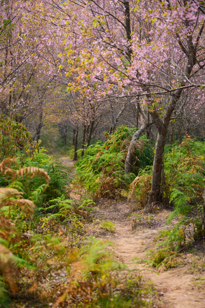 The beautiful scenery of pathway in cherry blossom forest,thailand