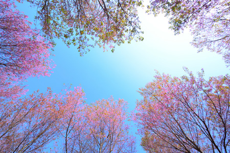 frame of wild himalayan cherry,Pink Cherry Blossoms with Blue Sky background Standard-Bild