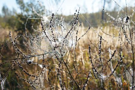 spiderweb: Autumn grass with spiderweb