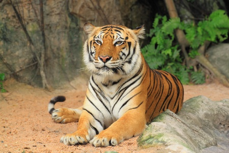 Tiger sitting. photo