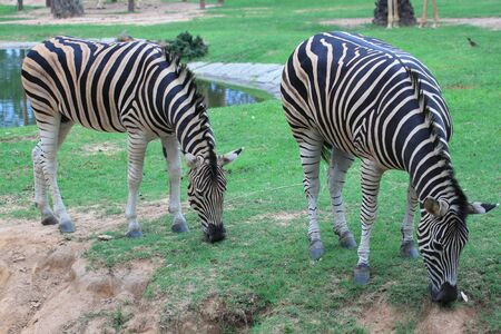 Two zebra  photo