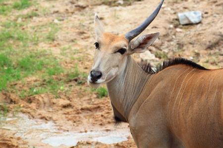 Gazelle one horn Stock Photo