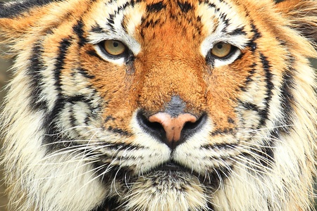 face down: Tiger