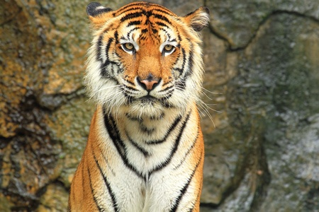 Bengal tiger standing view