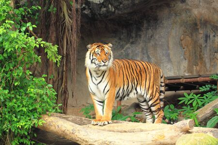 Tiger standing view Stock Photo