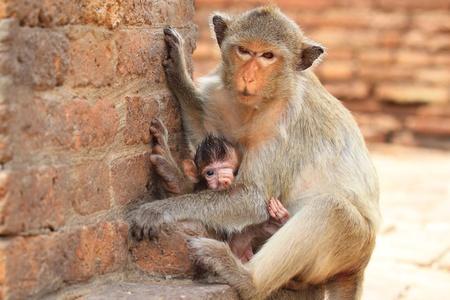 Monkey in Lopburi of Thailand